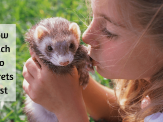 How Much Do Ferrets Cost