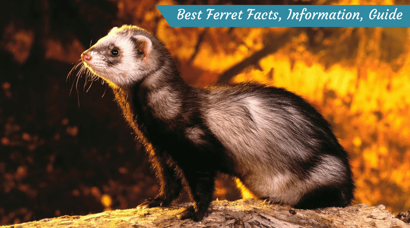 Best Ferret Facts, Information, Guide
