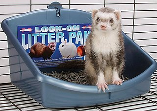 potty train a ferret