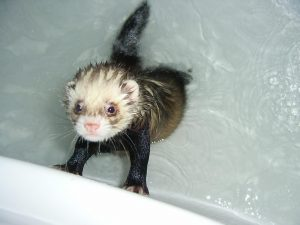 Bathing Ferret