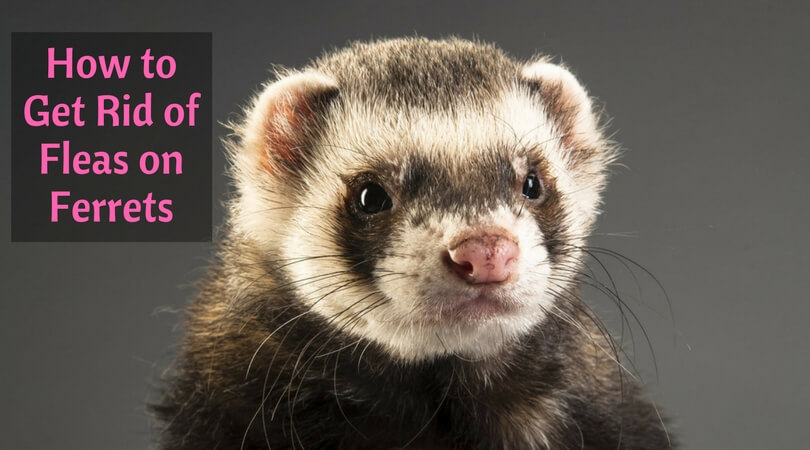 How to Get Rid of Fleas on Ferrets