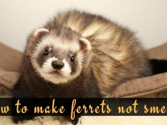 How to make ferrets not smell_