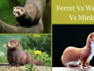Ferret Vs Weasel Vs Mink
