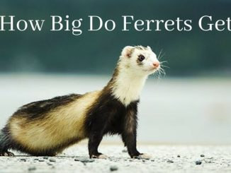 How Big Do Ferrets Get