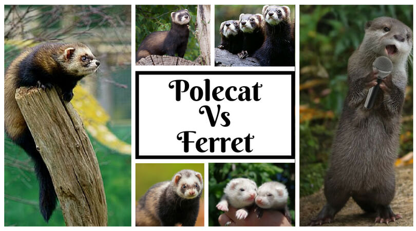 Polecat Vs Ferret