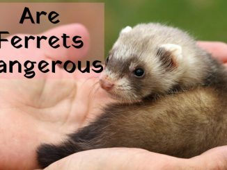 are ferrets dangerous