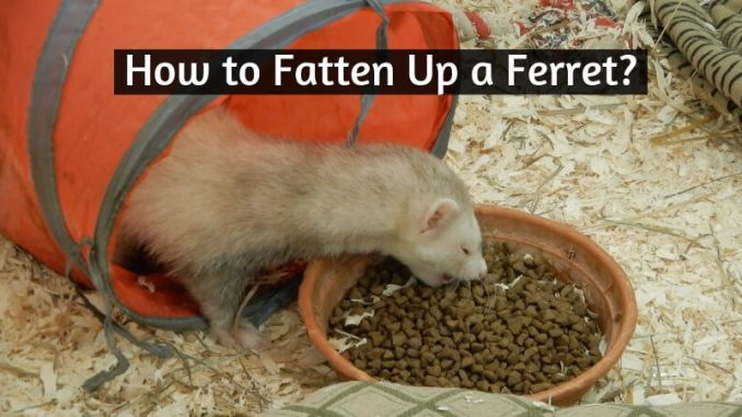 How to Fatten Up a Ferret