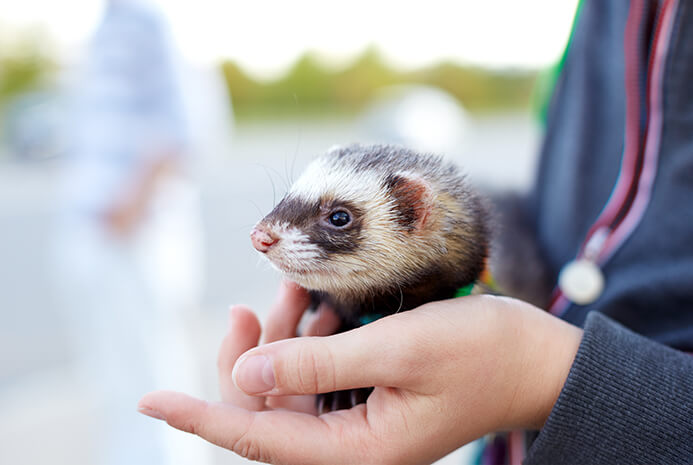 Encourage Your Ferret