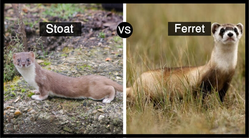 Stoat vs Ferret