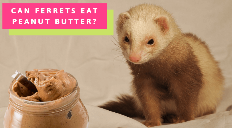 Can Ferrets Eat Peanut Butter?