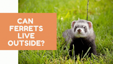 Can Ferrets Live Outside