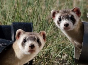 Ferrets Live Outside