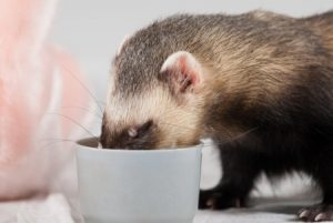ferret-eating