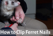 How to clip ferret nails
