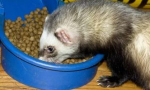 Is Ferret Epigen suitable for your ferrets?