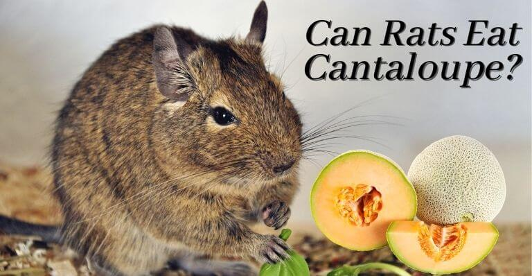 Can Rats Eat Cantaloupe
